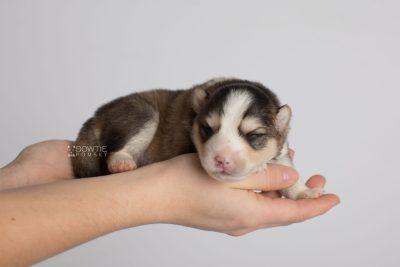 puppy172 week1 BowTiePomsky.com Bowtie Pomsky Puppy For Sale Husky Pomeranian Mini Dog Spokane WA Breeder Blue Eyes Pomskies Celebrity Puppy web7