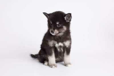 puppy161 week7 BowTiePomsky.com Bowtie Pomsky Puppy For Sale Husky Pomeranian Mini Dog Spokane WA Breeder Blue Eyes Pomskies Celebrity Puppy web4