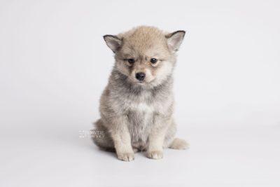 puppy162 week7 BowTiePomsky.com Bowtie Pomsky Puppy For Sale Husky Pomeranian Mini Dog Spokane WA Breeder Blue Eyes Pomskies Celebrity Puppy web4