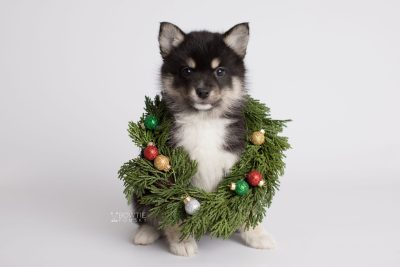 puppy164 week7 BowTiePomsky.com Bowtie Pomsky Puppy For Sale Husky Pomeranian Mini Dog Spokane WA Breeder Blue Eyes Pomskies Celebrity Puppy web4