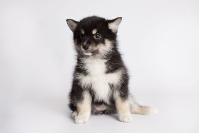 puppy164 week7 BowTiePomsky.com Bowtie Pomsky Puppy For Sale Husky Pomeranian Mini Dog Spokane WA Breeder Blue Eyes Pomskies Celebrity Puppy web5