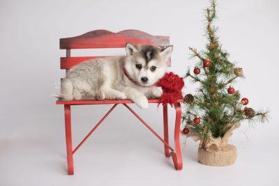 puppy165 week7 BowTiePomsky.com Bowtie Pomsky Puppy For Sale Husky Pomeranian Mini Dog Spokane WA Breeder Blue Eyes Pomskies Celebrity Puppy web1