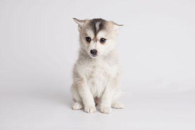puppy165 week7 BowTiePomsky.com Bowtie Pomsky Puppy For Sale Husky Pomeranian Mini Dog Spokane WA Breeder Blue Eyes Pomskies Celebrity Puppy web4