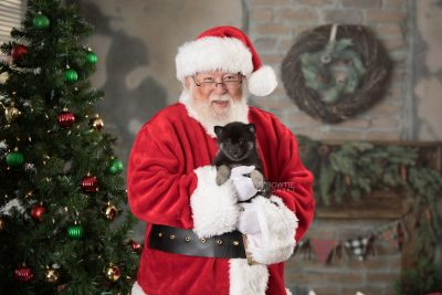 puppy166 week7 BowTiePomsky.com Bowtie Pomsky Puppy For Sale Husky Pomeranian Mini Dog Spokane WA Breeder Blue Eyes Pomskies Celebrity Puppy web9