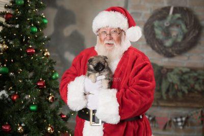 puppy168 week7 BowTiePomsky.com Bowtie Pomsky Puppy For Sale Husky Pomeranian Mini Dog Spokane WA Breeder Blue Eyes Pomskies Celebrity Puppy web1