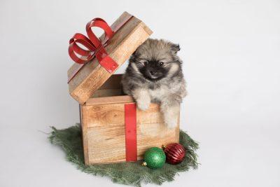 puppy168 week7 BowTiePomsky.com Bowtie Pomsky Puppy For Sale Husky Pomeranian Mini Dog Spokane WA Breeder Blue Eyes Pomskies Celebrity Puppy web3