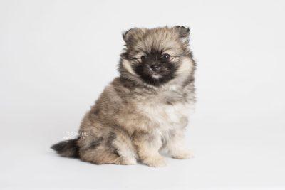 puppy168 week7 BowTiePomsky.com Bowtie Pomsky Puppy For Sale Husky Pomeranian Mini Dog Spokane WA Breeder Blue Eyes Pomskies Celebrity Puppy web7