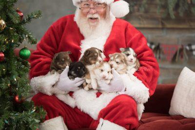 puppy169-174 week3 BowTiePomsky.com Bowtie Pomsky Puppy For Sale Husky Pomeranian Mini Dog Spokane WA Breeder Blue Eyes Pomskies Celebrity Puppy web1