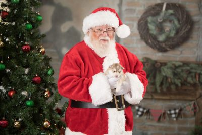 puppy169 week3 BowTiePomsky.com Bowtie Pomsky Puppy For Sale Husky Pomeranian Mini Dog Spokane WA Breeder Blue Eyes Pomskies Celebrity Puppy web7