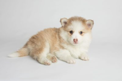 puppy170 week5 BowTiePomsky.com Bowtie Pomsky Puppy For Sale Husky Pomeranian Mini Dog Spokane WA Breeder Blue Eyes Pomskies Celebrity Puppy web6