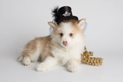 puppy170 week7 BowTiePomsky.com Bowtie Pomsky Puppy For Sale Husky Pomeranian Mini Dog Spokane WA Breeder Blue Eyes Pomskies Celebrity Puppy web3