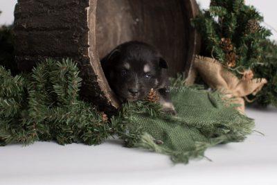 puppy171 week3 BowTiePomsky.com Bowtie Pomsky Puppy For Sale Husky Pomeranian Mini Dog Spokane WA Breeder Blue Eyes Pomskies Celebrity Puppy web1