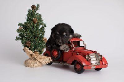 puppy171 week3 BowTiePomsky.com Bowtie Pomsky Puppy For Sale Husky Pomeranian Mini Dog Spokane WA Breeder Blue Eyes Pomskies Celebrity Puppy web2