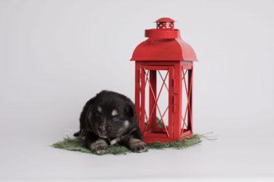 puppy171 week3 BowTiePomsky.com Bowtie Pomsky Puppy For Sale Husky Pomeranian Mini Dog Spokane WA Breeder Blue Eyes Pomskies Celebrity Puppy web3