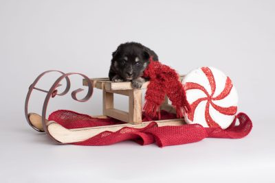 puppy171 week3 BowTiePomsky.com Bowtie Pomsky Puppy For Sale Husky Pomeranian Mini Dog Spokane WA Breeder Blue Eyes Pomskies Celebrity Puppy web4