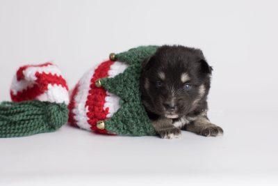 puppy171 week3 BowTiePomsky.com Bowtie Pomsky Puppy For Sale Husky Pomeranian Mini Dog Spokane WA Breeder Blue Eyes Pomskies Celebrity Puppy web5