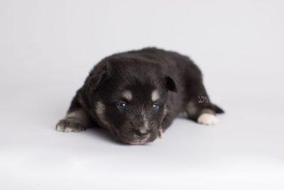 puppy171 week3 BowTiePomsky.com Bowtie Pomsky Puppy For Sale Husky Pomeranian Mini Dog Spokane WA Breeder Blue Eyes Pomskies Celebrity Puppy web6