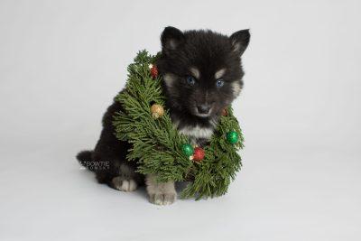 puppy171 week5 BowTiePomsky.com Bowtie Pomsky Puppy For Sale Husky Pomeranian Mini Dog Spokane WA Breeder Blue Eyes Pomskies Celebrity Puppy web3