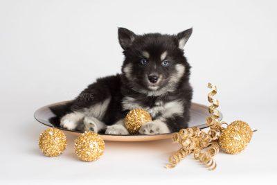 puppy171 week7 BowTiePomsky.com Bowtie Pomsky Puppy For Sale Husky Pomeranian Mini Dog Spokane WA Breeder Blue Eyes Pomskies Celebrity Puppy web5