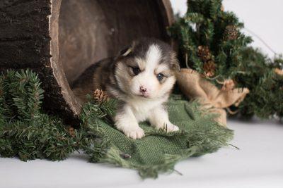 puppy172 week3 BowTiePomsky.com Bowtie Pomsky Puppy For Sale Husky Pomeranian Mini Dog Spokane WA Breeder Blue Eyes Pomskies Celebrity Puppy web1
