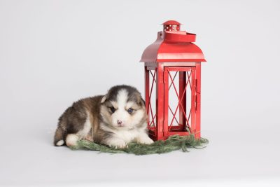 puppy172 week3 BowTiePomsky.com Bowtie Pomsky Puppy For Sale Husky Pomeranian Mini Dog Spokane WA Breeder Blue Eyes Pomskies Celebrity Puppy web4