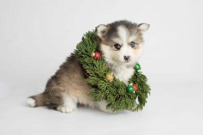 puppy172 week5 BowTiePomsky.com Bowtie Pomsky Puppy For Sale Husky Pomeranian Mini Dog Spokane WA Breeder Blue Eyes Pomskies Celebrity Puppy web4