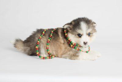 puppy172 week5 BowTiePomsky.com Bowtie Pomsky Puppy For Sale Husky Pomeranian Mini Dog Spokane WA Breeder Blue Eyes Pomskies Celebrity Puppy web5