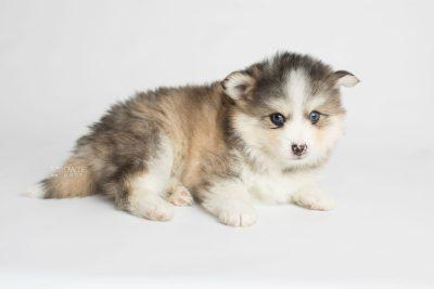 puppy172 week5 BowTiePomsky.com Bowtie Pomsky Puppy For Sale Husky Pomeranian Mini Dog Spokane WA Breeder Blue Eyes Pomskies Celebrity Puppy web6