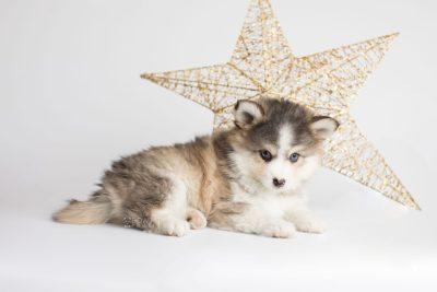 puppy172 week7 BowTiePomsky.com Bowtie Pomsky Puppy For Sale Husky Pomeranian Mini Dog Spokane WA Breeder Blue Eyes Pomskies Celebrity Puppy web1