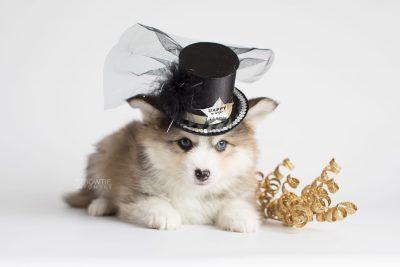 puppy172 week7 BowTiePomsky.com Bowtie Pomsky Puppy For Sale Husky Pomeranian Mini Dog Spokane WA Breeder Blue Eyes Pomskies Celebrity Puppy web3