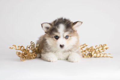 puppy172 week7 BowTiePomsky.com Bowtie Pomsky Puppy For Sale Husky Pomeranian Mini Dog Spokane WA Breeder Blue Eyes Pomskies Celebrity Puppy web4