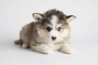 puppy172 week7 BowTiePomsky.com Bowtie Pomsky Puppy For Sale Husky Pomeranian Mini Dog Spokane WA Breeder Blue Eyes Pomskies Celebrity Puppy web5