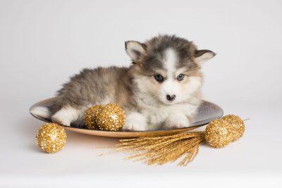 puppy172 week7 BowTiePomsky.com Bowtie Pomsky Puppy For Sale Husky Pomeranian Mini Dog Spokane WA Breeder Blue Eyes Pomskies Celebrity Puppy web7