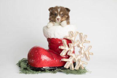puppy174 week5 BowTiePomsky.com Bowtie Pomsky Puppy For Sale Husky Pomeranian Mini Dog Spokane WA Breeder Blue Eyes Pomskies Celebrity Puppy web2