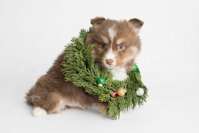 puppy174 week5 BowTiePomsky.com Bowtie Pomsky Puppy For Sale Husky Pomeranian Mini Dog Spokane WA Breeder Blue Eyes Pomskies Celebrity Puppy web4