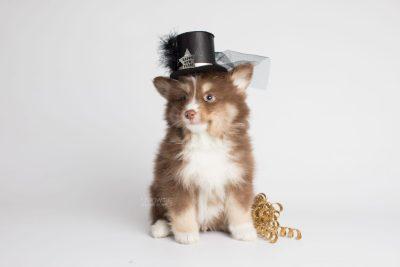 puppy174 week7 BowTiePomsky.com Bowtie Pomsky Puppy For Sale Husky Pomeranian Mini Dog Spokane WA Breeder Blue Eyes Pomskies Celebrity Puppy web2