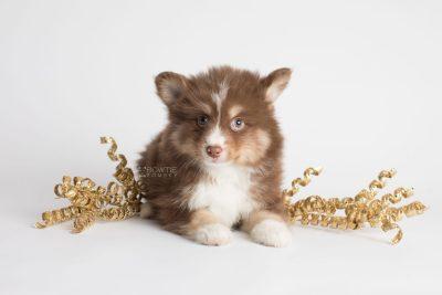puppy174 week7 BowTiePomsky.com Bowtie Pomsky Puppy For Sale Husky Pomeranian Mini Dog Spokane WA Breeder Blue Eyes Pomskies Celebrity Puppy web3