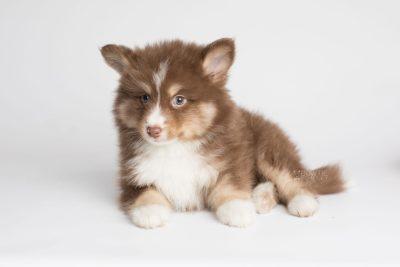 puppy174 week7 BowTiePomsky.com Bowtie Pomsky Puppy For Sale Husky Pomeranian Mini Dog Spokane WA Breeder Blue Eyes Pomskies Celebrity Puppy web6