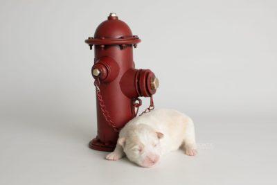 puppy175 week1 BowTiePomsky.com Bowtie Pomsky Puppy For Sale Husky Pomeranian Mini Dog Spokane WA Breeder Blue Eyes Pomskies Celebrity Puppy web2