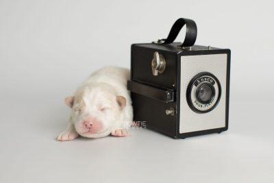 puppy175 week1 BowTiePomsky.com Bowtie Pomsky Puppy For Sale Husky Pomeranian Mini Dog Spokane WA Breeder Blue Eyes Pomskies Celebrity Puppy web3