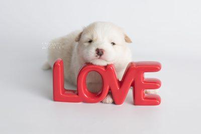 puppy175 week3 BowTiePomsky.com Bowtie Pomsky Puppy For Sale Husky Pomeranian Mini Dog Spokane WA Breeder Blue Eyes Pomskies Celebrity Puppy web5