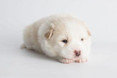 puppy175 week3 BowTiePomsky.com Bowtie Pomsky Puppy For Sale Husky Pomeranian Mini Dog Spokane WA Breeder Blue Eyes Pomskies Celebrity Puppy web6