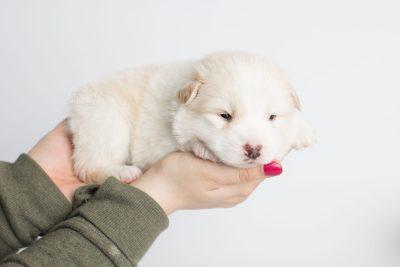 puppy175 week3 BowTiePomsky.com Bowtie Pomsky Puppy For Sale Husky Pomeranian Mini Dog Spokane WA Breeder Blue Eyes Pomskies Celebrity Puppy web7