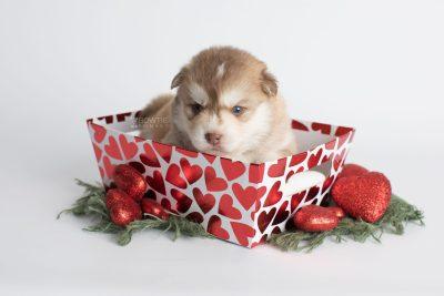 puppy176 week3 BowTiePomsky.com Bowtie Pomsky Puppy For Sale Husky Pomeranian Mini Dog Spokane WA Breeder Blue Eyes Pomskies Celebrity Puppy web4