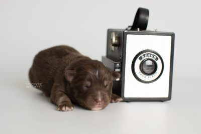 puppy177 week1 BowTiePomsky.com Bowtie Pomsky Puppy For Sale Husky Pomeranian Mini Dog Spokane WA Breeder Blue Eyes Pomskies Celebrity Puppy web3
