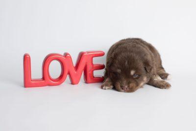 puppy177 week3 BowTiePomsky.com Bowtie Pomsky Puppy For Sale Husky Pomeranian Mini Dog Spokane WA Breeder Blue Eyes Pomskies Celebrity Puppy web4
