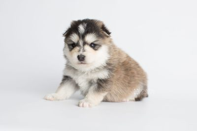 puppy178 week3 BowTiePomsky.com Bowtie Pomsky Puppy For Sale Husky Pomeranian Mini Dog Spokane WA Breeder Blue Eyes Pomskies Celebrity Puppy web7