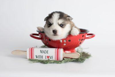 puppy179 week3 BowTiePomsky.com Bowtie Pomsky Puppy For Sale Husky Pomeranian Mini Dog Spokane WA Breeder Blue Eyes Pomskies Celebrity Puppy web1