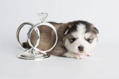 puppy179 week3 BowTiePomsky.com Bowtie Pomsky Puppy For Sale Husky Pomeranian Mini Dog Spokane WA Breeder Blue Eyes Pomskies Celebrity Puppy web5