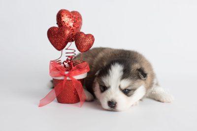 puppy179 week3 BowTiePomsky.com Bowtie Pomsky Puppy For Sale Husky Pomeranian Mini Dog Spokane WA Breeder Blue Eyes Pomskies Celebrity Puppy web6